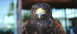 Harris Eagle